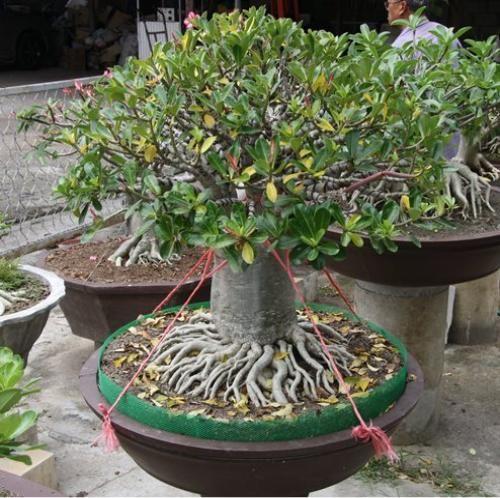 Adenium Bonsai Exposed Roots Bonsai Bonsai Plants