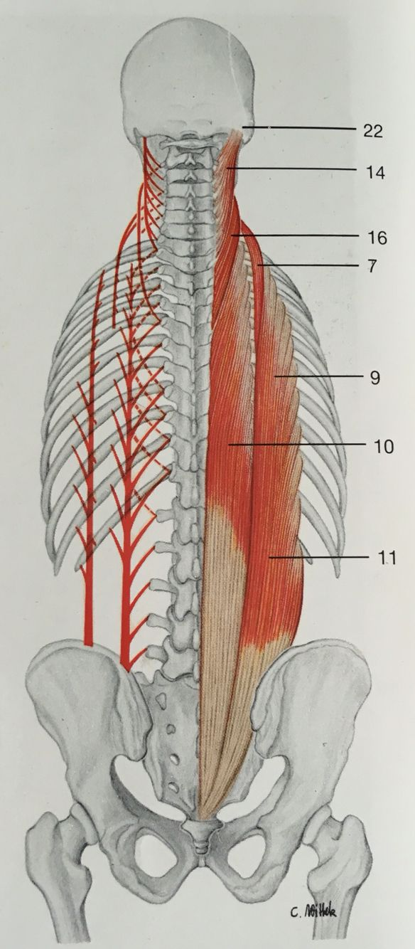 Muscles of back in deep layer (erector spinae muscles): 11:iliocostalis lumbrum, 9:iliocostalis thoracis, 7:iliocostalis cervices, 10:longissimus thoracis, 16:longissimus cervices, 14:longissimus capitis.