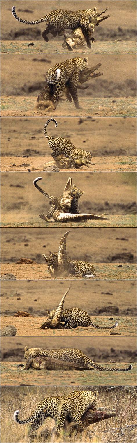 Leopard versus crocodile