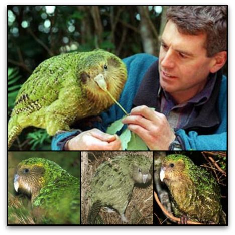 This is not only the rarest, but the strangest parrot in the world. Imagine a rather portly nocturnal bird that never flies, preferring to hike through hilly forest for miles every night. It weighs in as the heaviest parrot in the world at 8 pounds. There are only 62 Kakapos remaining on earth.