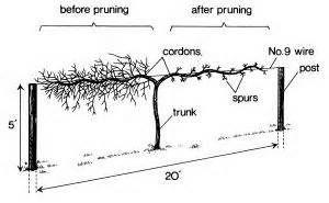 mature grape vine pruning - Bing Images