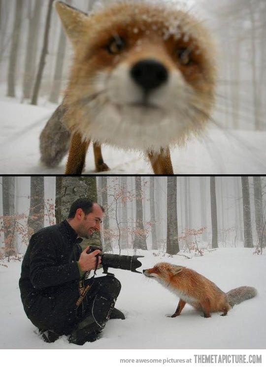 Curious fox / so lovely!! :3