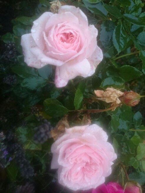 Smukke roser