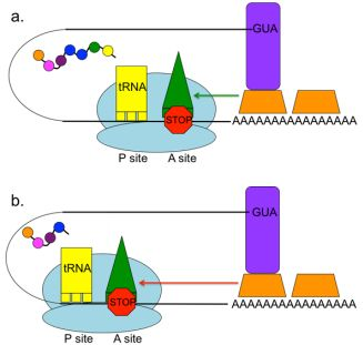 Treatment of Nonsense Mutations Using Stop Codon Read-through Therapeutics and Creation of Animal Models Using CRISPR-Cas9