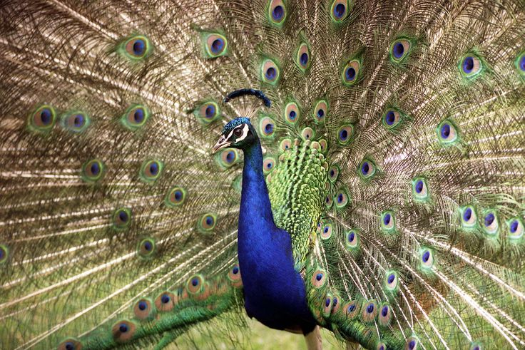 extravagantHallette Getty Image, Animalspet Infostuff, Auckland Zoos, Peacocks Click, Full Siz Image, David Hallette Getty, Beautiful Things, December 20, Festivals Decor