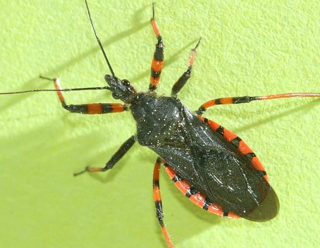 """The Assassin Bug (or kissing bugs) causes Chagas disease. They are largely dark brown or black, and may have red dots on each side of their broad, flat backs. They measure between 1/2"""" to 1"""" long"""