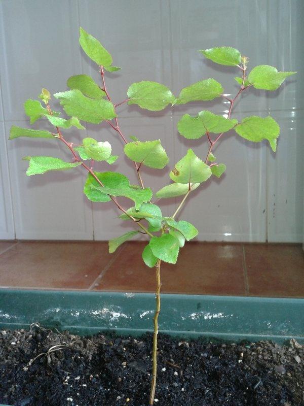 Pré-bonsai Damasqueiro