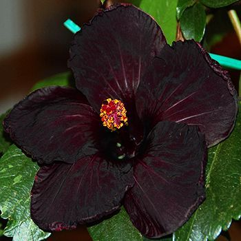 17 best ideas about hibiscus garden on pinterest hibiscus