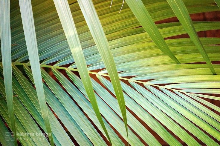 Palm frond. Bronte, Australia