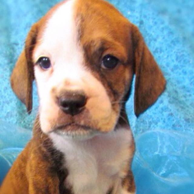 english bulldogs  beagles and bulldogs on pinterest