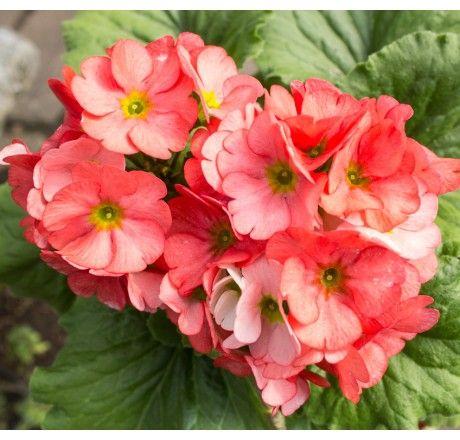 Planta Primavera Naranja