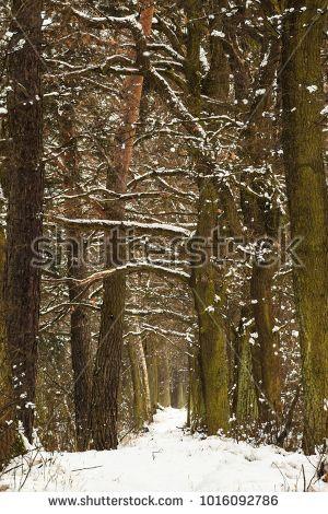 Snowy woodland tunnel in Poland