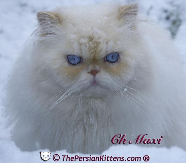 Persian Cat For Sale        													Persian kittens for sale  buffalo creek farms of kansas city, Buffalo creek farms sells persian kittens and himalayan kittens. we have himalayans and persians in a variety of colors including blue chocolate calico and more.. 																	Petite persian kittens for sale,...