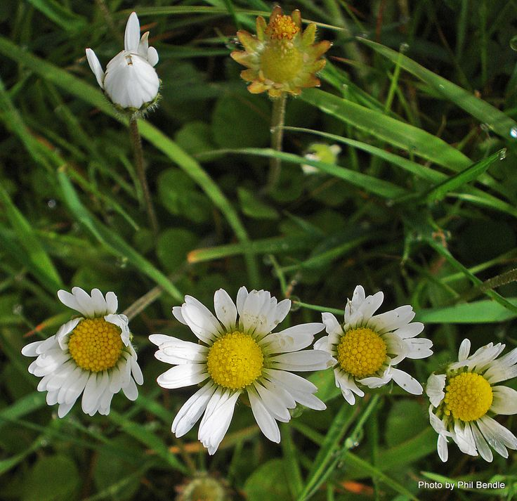 T.E.R:R.A.I.N - Taranaki Educational Resource: Research, Analysis and Information Network - Bellis perennis (Common daisy)