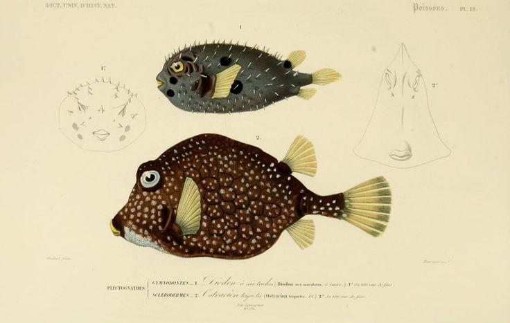 img/dessins couleur poissons/dessin poisson 0113 ostracion triquetre - ostracion triqueter.jpg