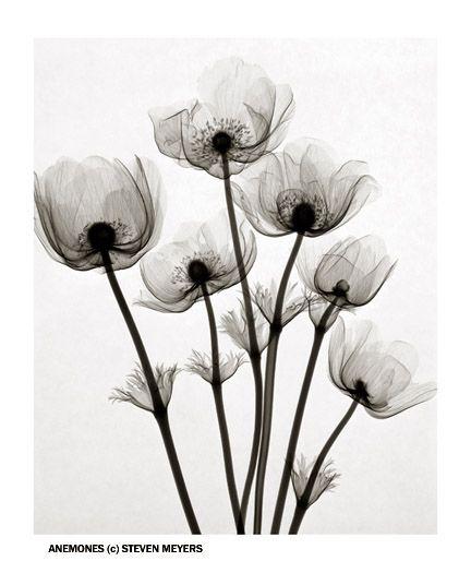 "X-ray Flower Prints: ""Anemones"" by Steven N Meyers"