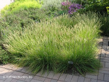 Sesleria autumnalis 91 of 100 must have garden plants for Shade decorative grass