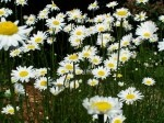 Perennial Shasta Daisies (that spread!) Daisies are my all time favorite flower!