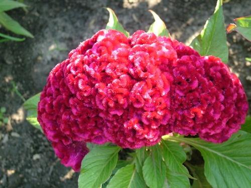 coxcomb - october flower