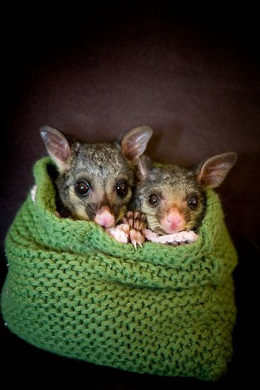 """Tinka & Scarlett"" Brushtail Possums by Amber Williams"