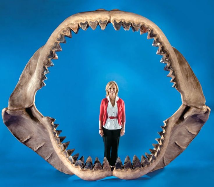 A reconstruction of the jaws of Carcharodon Megalodon,the largest shark known to have existed.Megalodon teeth the size of a big man's hand.If the idea of a Great White scares you,image one about 60 feet long! The Megalodon ate whales,among other creatures;it is belived that as Earth's climate changed and the size of the world's oceans decreased,the megalodon simply ran out of room to find prey of a size sufficient for its needs.