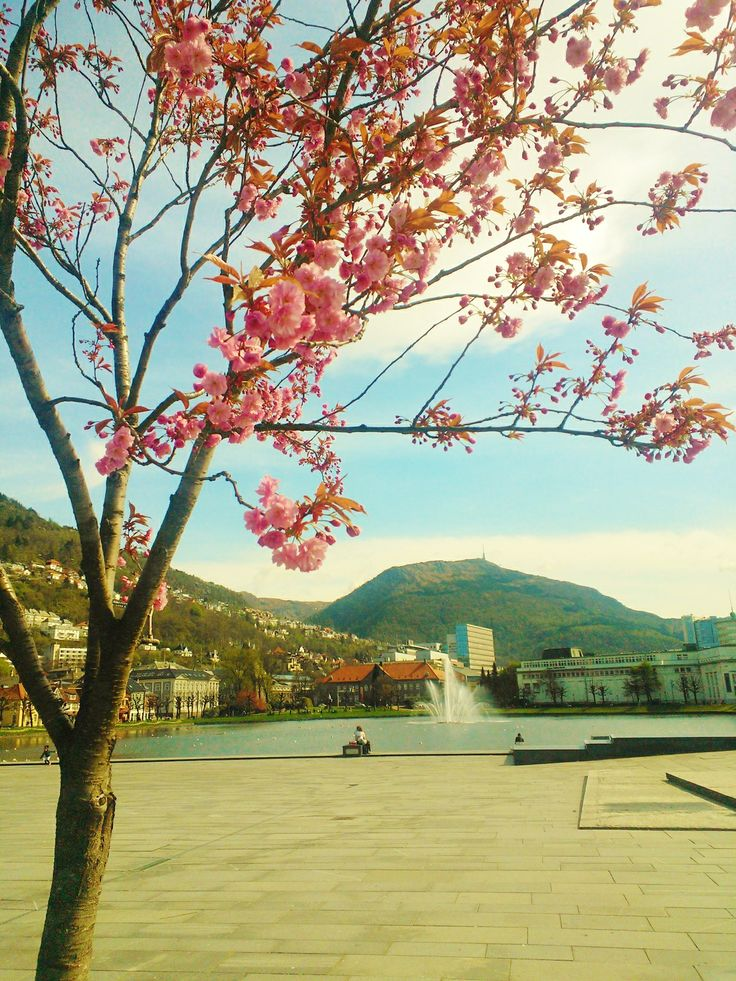 Pink City center, cherry, Bergen, Norway