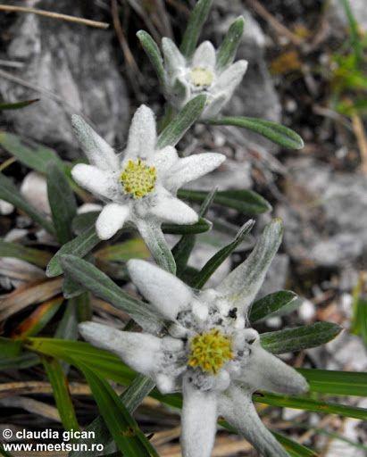 Floare de colţ (Leontopodium alpinum)Denumiri populare: floarea reginei, steluţă. Comună în Europa este denumirea din limba germană, edelweiss (alb nobil)