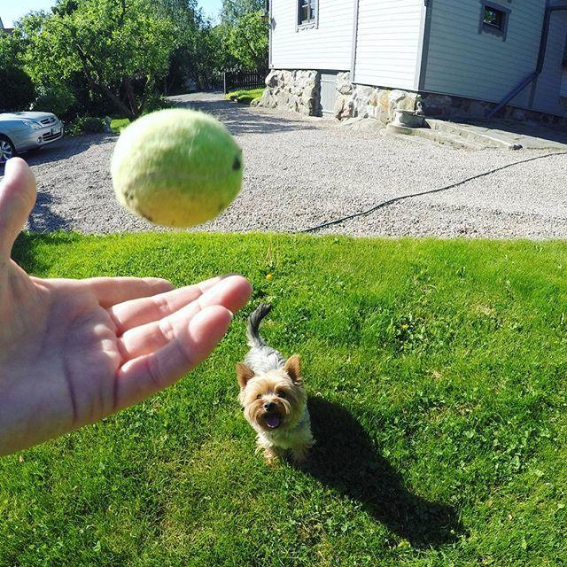 #littleyorkierufus #rufus #yorkie #yorkshireterrier #dog #littledog #instayorkie #yorkiesofinstagram #furball #dogpics #dogphotography #cutie #dogstagram #yorkielove #yorkki #terrier #terrieri #yorkshirenterrieri #cutedog #yorkiestagram
