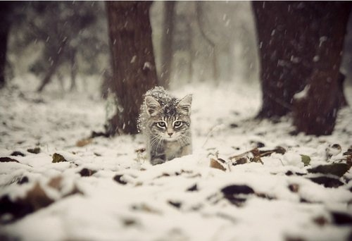 .: White Tigers, Funny Kitty, Snow, Winter Wonderland, Cute Cat, Tabby Kittens, Grumpy Cats, White Cat