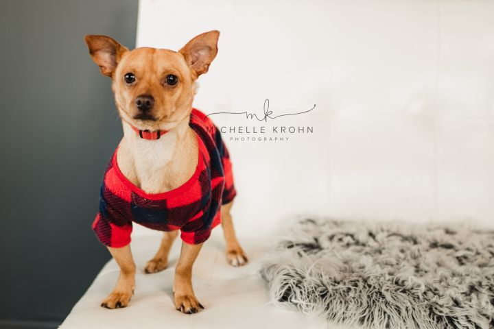 Adopt Darwin No Longer Accepting Applications On Dogs Chihuahua Mix Adoption