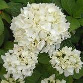 Hydrangea Soeur Theresa - 1 shrub/7.95