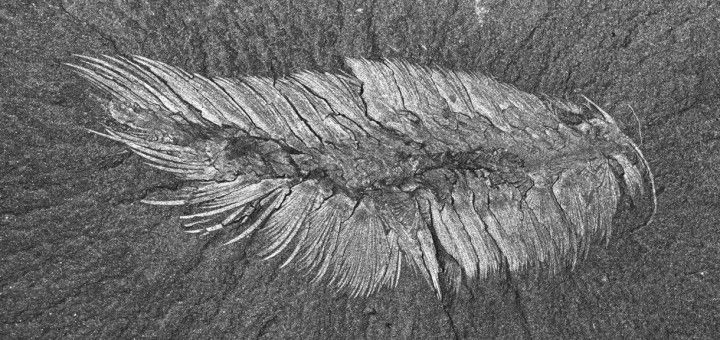 Canadia spinosa, Cambrian annelid worm from the Burgess Shale
