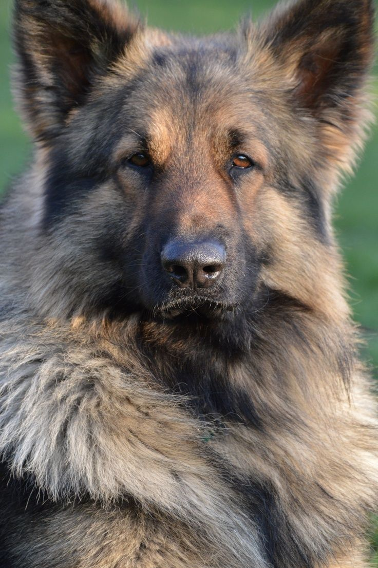 Dogs: #Shiloh #Shepherds are larger than German Shepherd Dogs, and have a straighter back than the Short-Haired German Shepherd Dog, with only a slight slope (in contrast to the Long-Haired German Shepherd Dog, which should have no slope at all).