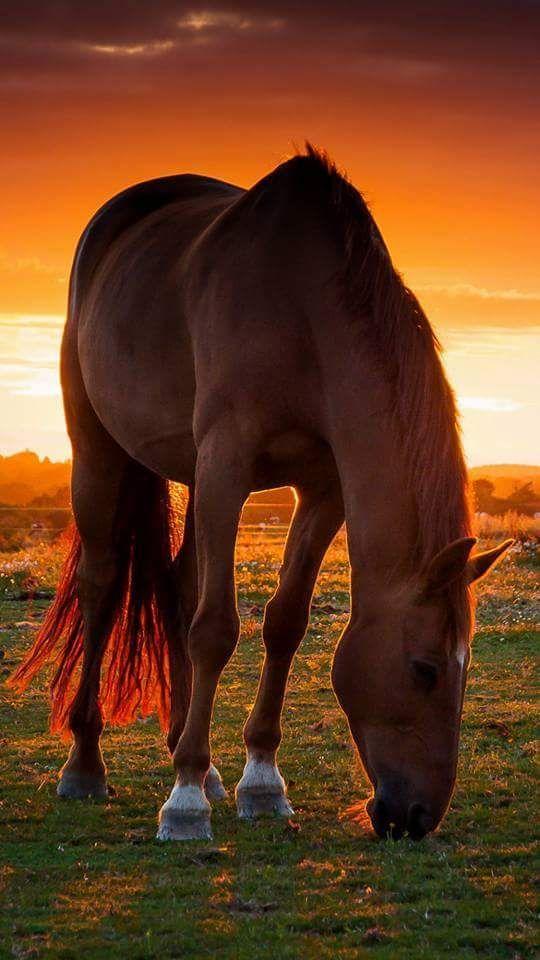 Pferd im Sonnenuntergang auf der Weide. #APASSIONATA