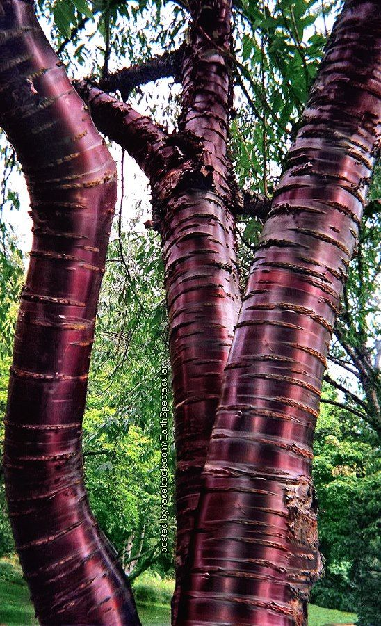 """Paperbark Cherry"" tree (Prunus serrula) Washington Arboretum, Seattle ❤❦♪♫"