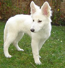 """Fun fact: Disney's """"Bolt"""" is based off of this breed - The American White Shepherd. <3 Gotta have him!"""