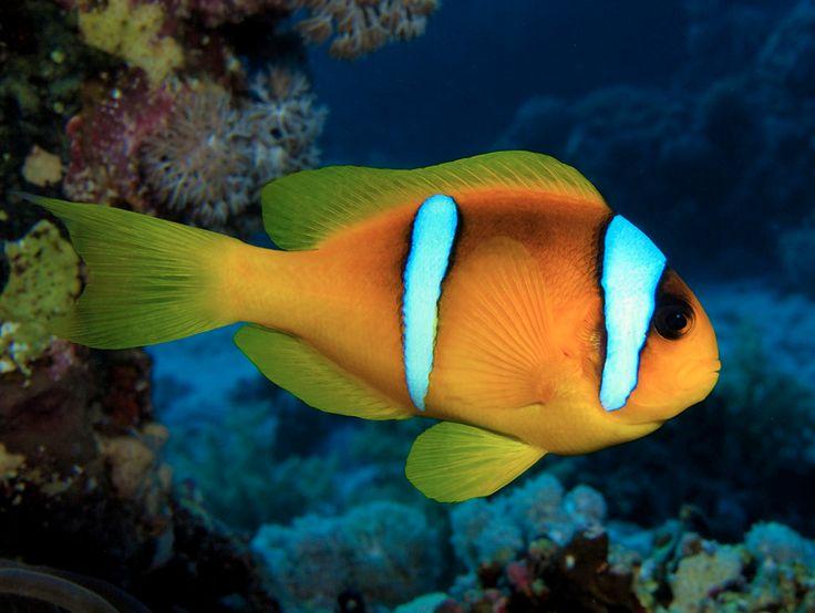 Tweebandanemoonvis of Rode Zee-clownvis - Red Sea or two-banded clownfish / anemonefish - De lengte van de tweebandanemoonvis is maximaal 11 centimeter. De kleur is zwartgeel met twee geprononceerde witte banden. Hij heeft geen staartband, de buikband is smaller dan de kopband en loopt naar onderen spits toe.