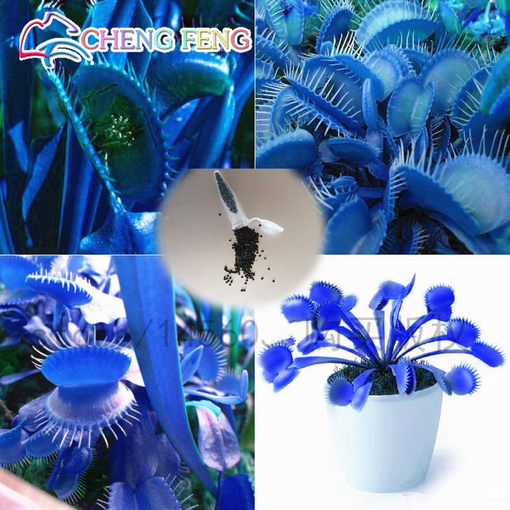 50pcs promotion!!! Blue Dionaea Muscipula Giant Clip Venus Flytrap Seeds Bonsai Plants Very Easy Grow Flower Seeds Free Shipping