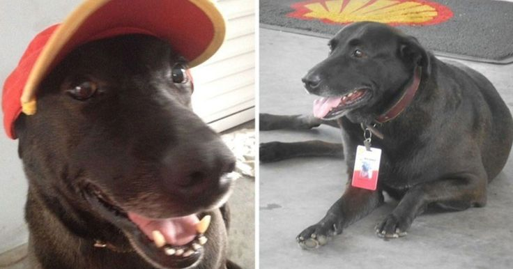 """Gas Station Workers Adopt An Abandoned Dog And Gives Him a Job  http://viralabout.com/gas-station-workers-adopt-an-abandoned-dog-and-gives-him-a-job/ Negão - an abandoned dog - got a job at the Shell gas station in Mogi das Cruzes, Brazil.    Two years ago, Negão was left behind by his owner and was found nearly the Shell station was. Lucky for him, two good samaritans decided to step in and help him.  """"We adopted"""