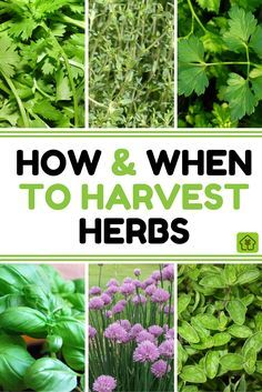 Summer may be drawing to a close, but don't despair. The end of the summer growing season means one thing - it's harvest time! Learn how and when to harvest your herbs