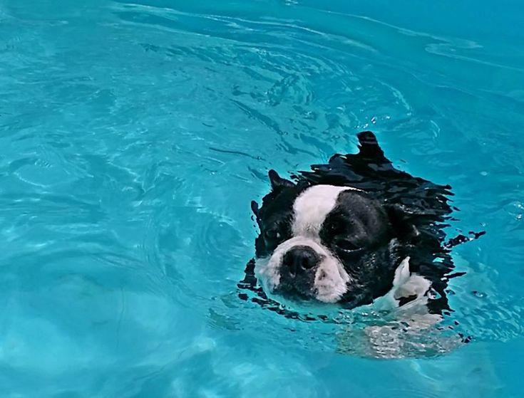 Boston Terrier named Raven Enjoying her Pool! - Do your Dogs Love to Swim? ► http://www.bterrier.com/?p=23735 - https://www.facebook.com/bterrierdogs