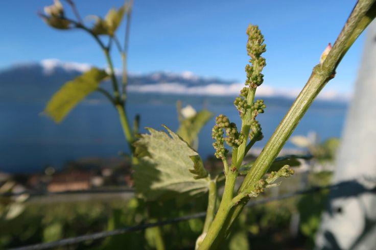 Grappe de Chasselas en mai 2015  #grappe #chasselas #Lavaux #chardonne