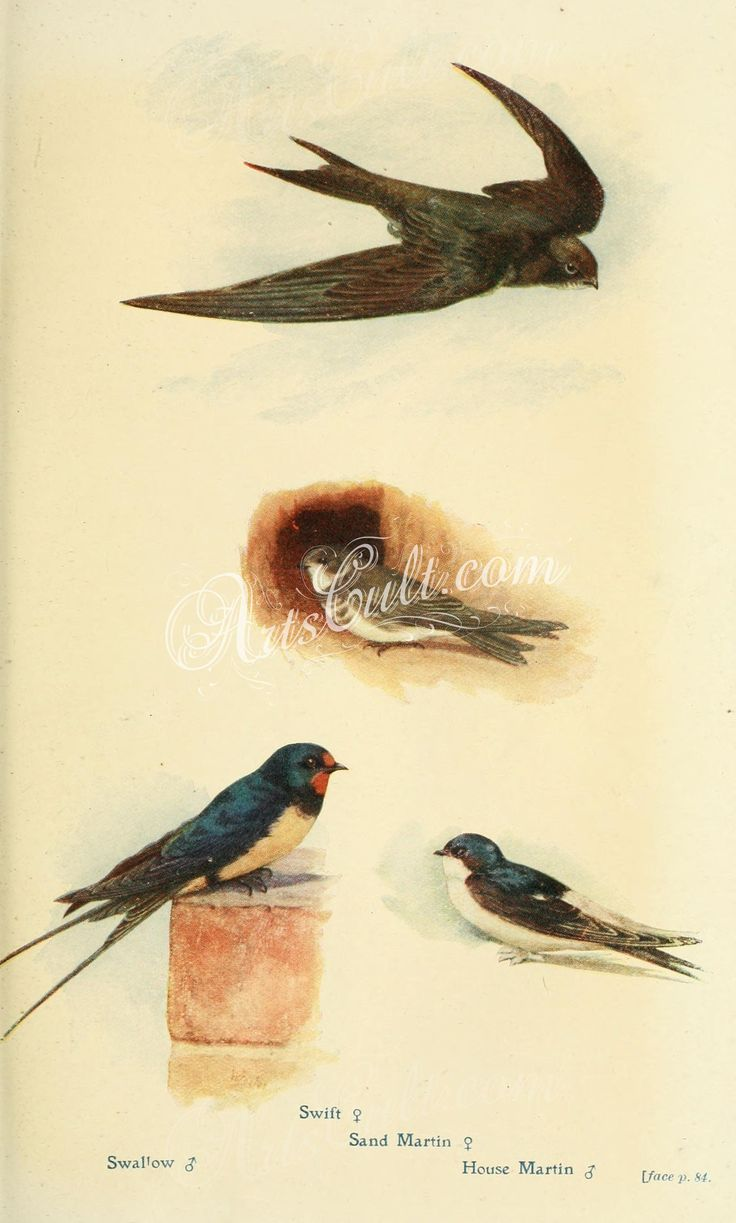 Swallow, Swift, Sand Martin, House Martin   ...