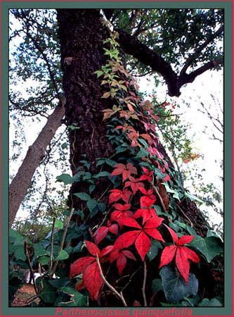 Virginia creeper  (Parthenocissus quinquefolia)...gets up to  90ft long, completely covering, walls or fences....would love to have a stone walled home to grow it on, but the fence will have to do....also very colorful in the fall