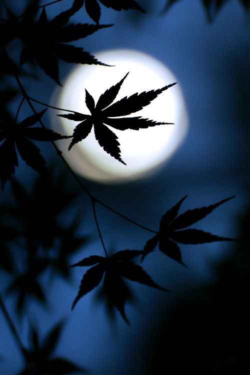 ...: Country Church, Flowers Gardens, Silhouette, Nighttime, Night Time, Full Moon Photo, Blue Moon, Maple Leaves, The Moon