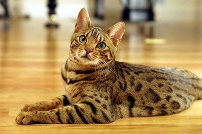 Ocicat- OH MY GOD!!! Look at its tufftied ears!!! It needs a tire swing or somthing, its like mowswitch in their! lol