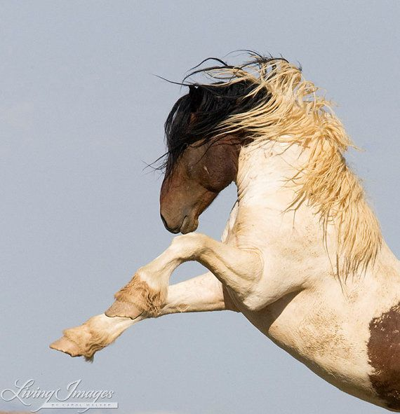 Warbonnet rearing as another stallion comes close to his band in McCullough Peaks  www.LivingImagesCJW.com