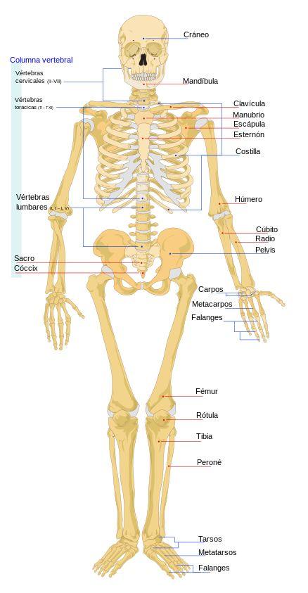 Diagrama del esqueleto humano vista frontal, las líneas rojas apuntan a huesos individuales, cuyos nombres se escriben en singular. las líneas azules apuntan a un grupo de huesos, escritos en plural.