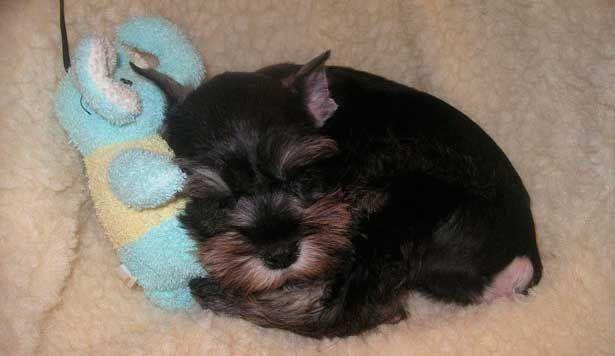 Aprende aquí ¡10 consejos para criar un Schnauzer pequeño!   Blogs realizados por veterinarios especializados para Ciudaddemascotas.com