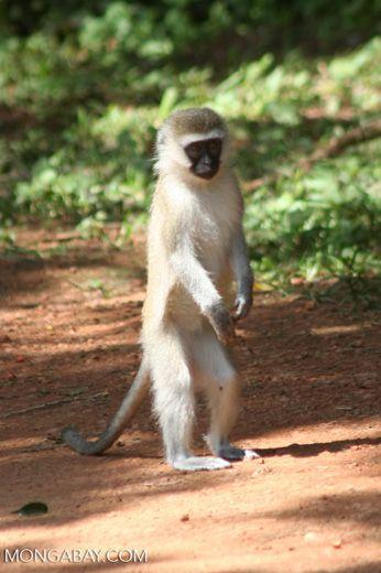 Young vervet monkey standing upright